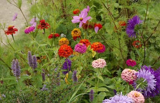 Zinnie nana thumbelina multicolor