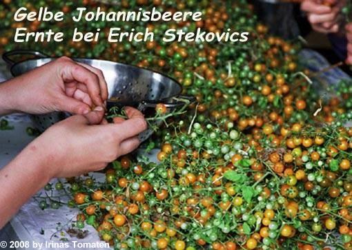 Tomate Gelbe Johannisbeere (gelbe Wildtomate)
