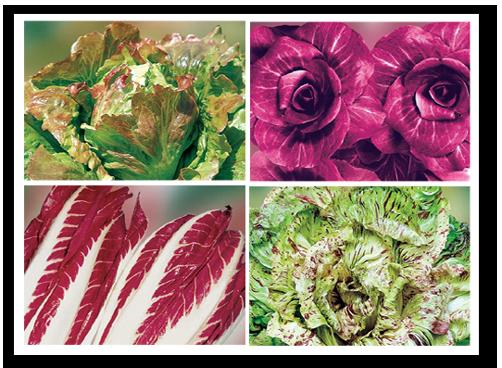 Salat & Chicoree Samen