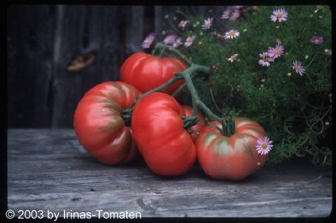 Tomate Caspian pink (Kaspijskij rosovi)
