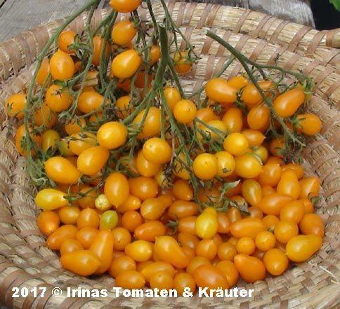 Lycopersicon Cheesmanii orange