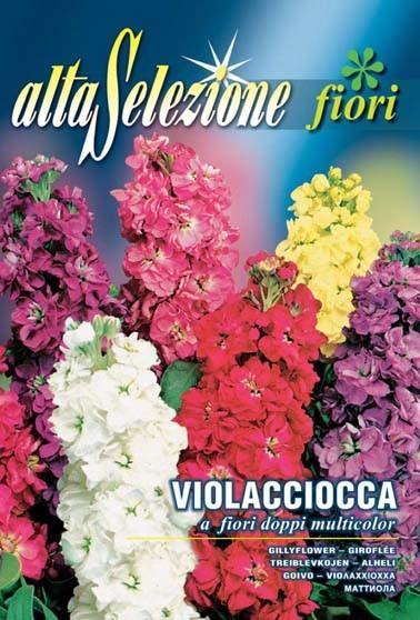 Levkoje a fiori doppi multicolor