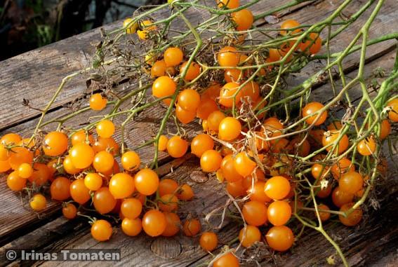Lycopersicon Americanum gelb