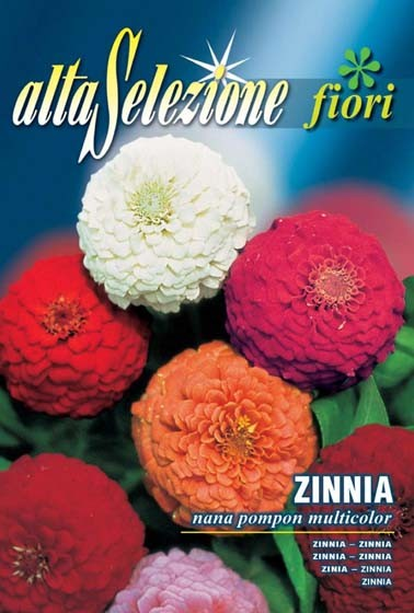 Zinnie Nana pompon multicolor