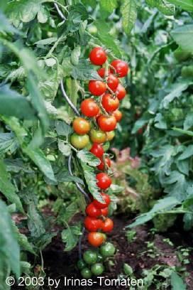 Tomate Vesennij Michurinskij