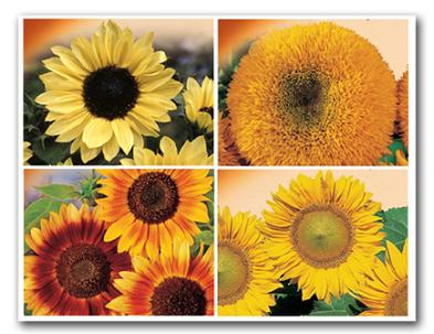 Sonnenblumen Samen